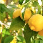 citron Ning meng