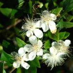 myrte-fleur